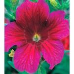 Сальпиглоссис Либра Purple /100 драже/ *Kitano Seeds*