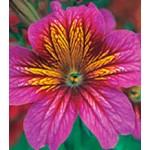 Сальпиглоссис Либра Purple Bicolour /100 драже/ *Kitano Seeds*