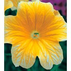 Сальпиглоссис Либра Yellow /100 драже/ *Kitano Seeds*