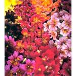 Сальпиглоссис Либра Mixed /100 драже/ *Kitano Seeds*