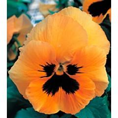 Виола Династия Orange Blotch /100 семян/ *Kitano Seeds*