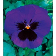 Виола Династия Blue Blotch /100 семян/ *Kitano Seeds*