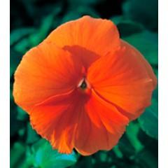 Виола Династия Orange /100 семян/ *Kitano Seeds*