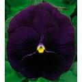 Виола Династия Purple /100 семян/ *Kitano Seeds*