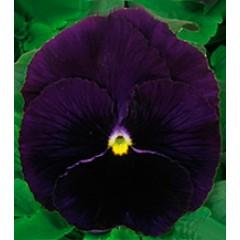 Виола Династия Purple /500 семян/ *Kitano Seeds*