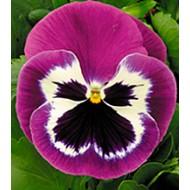 Виола Династия Purple Bicolour /100 семян/ *Kitano Seeds*
