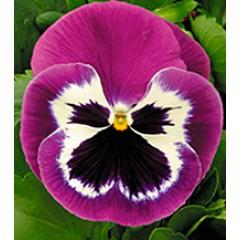 Виола Династия Purple Bicolour /500 семян/ *Kitano Seeds*