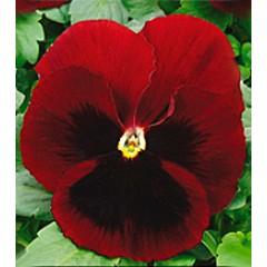 Виола Династия Red Blotch /500 семян/ *Kitano Seeds*