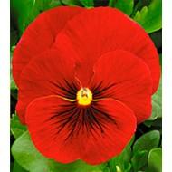 Виола Династия Scarlet Shades /500 семян/ *Kitano Seeds*
