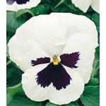 Виола Династия White Blotch /100 семян/ *Kitano Seeds*
