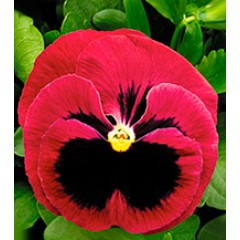 Виола Династия Rose Blotch /100 семян/ *Kitano Seeds*