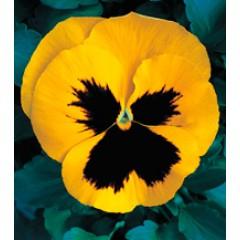 Виола Династия Yellow Blotch /100 семян/ *Kitano Seeds*
