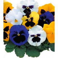Виола Династия Formula Mixed /100 семян/ *Kitano Seeds*