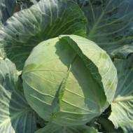 Капуста белокочанная Наоми F1 /2.500 семян/ *Kitano Seeds*