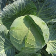 Капуста белокочанная Наоми F1 /1.000 семян/ *Kitano Seeds*