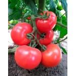 Томат KS 14 F1 /100 семян/ *Kitano Seeds*