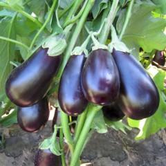 Баклажан Прадо F1 /1.000 семян/ *Kitano Seeds*