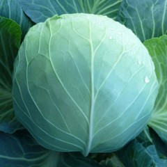 Капуста белокочанная KS 29 F1 /2.500 семян/ *Kitano Seeds*