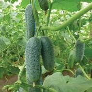 Огурец KS 90 F1 /1.000 семян/ *Kitano Seeds*