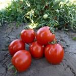 Томат Асвон F1 /1.000 семян/ *Kitano Seeds*