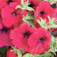 Петуния Лавина F1 пурпурная /1.000 семян (драже)/ *Cerny*