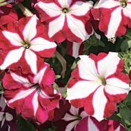 Петуния Лавина F1 пурпурная звезда /1.000 семян (драже)/ *Cerny*