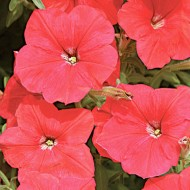 Петуния Лавина F1 красная /1.000 семян (драже)/ *Cerny*