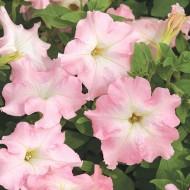 Петуния Мистрал F1 нежно-розовая /1.000 семян (драже)/ *Cerny*