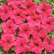 Петуния Мистрал F1 розовая /1.000 семян (драже)/ *Cerny*