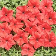 Петуния Мистрал F1 ярко-красная /1.000 семян (драже)/ *Cerny*