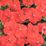 Петуния Карлик F1 красная /1.000 семян (драже)/ *Cerny*