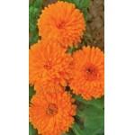 Календула оранжевая /0,8 г/ *Moravoseed*