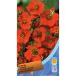 Колокольчик чилийский оранжевый /0,15 г/ *Moravoseed*