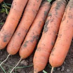 Морковь Марион F1 /50.000 семян/ *Moravoseed*