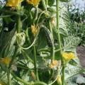 Огурец Роял F1 /0,5 кг семян/ *Clause*