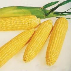 Кукуруза сахарная Леженд F1 /1 кг семян/ *Clause*