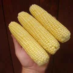 Кукуруза сахарная Леженд F1 /10 кг семян/ *Clause*