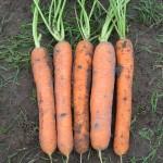 Морковь Сатурно F1 /25.000 шт/ *Clause*