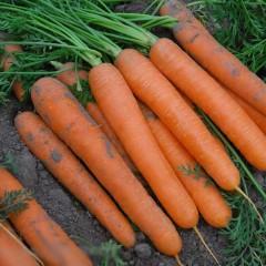 Морковь Сатурно F1 /100.000 шт/ *Clause*