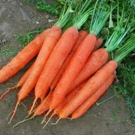 Морковь Матч F1 /25.000 шт/ *Clause*