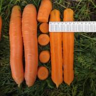 Морковь Матч F1 /100.000 шт/ *Clause*