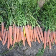 Морковь Стромболи F1 /100.000 шт/ *Clause*