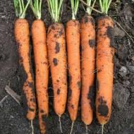 Морковь Майор F1 /25.000 шт/ *Clause*