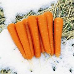 Морковь Майор F1 /100.000 шт/ *Clause*