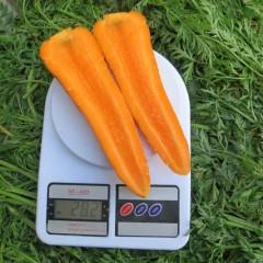 Морковь Скарла /0,5 кг семян/ *Clause*