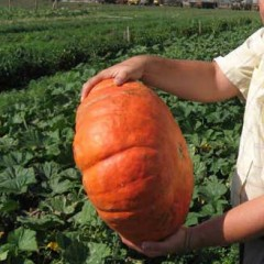 Тыква Руж Виф Де Тамп /0,5 кг семян/ *Clause*