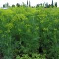 Укроп Дилл /0,5 кг семян/ *Clause*