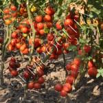Томат Восторг Садовода (Gardeneros Delight) /20 семян/ *Частная коллекция*