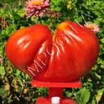 Томат Сердце Буйвола /20 семян/ *Частная коллекция*