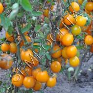 Томат Оранжевый Черри (Orange Cherry) /20 семян/ *Частная коллекция*